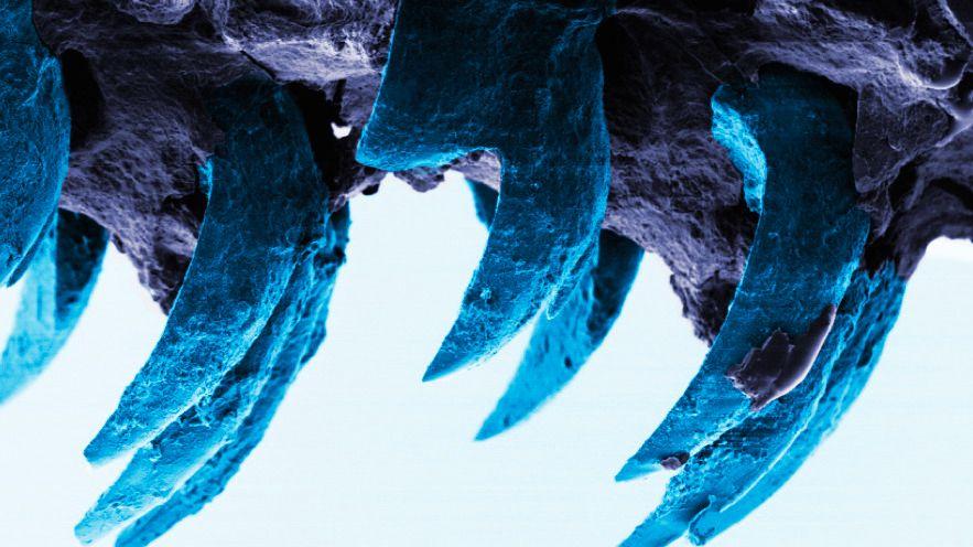 – Disse tennene er naturens sterkeste materiale