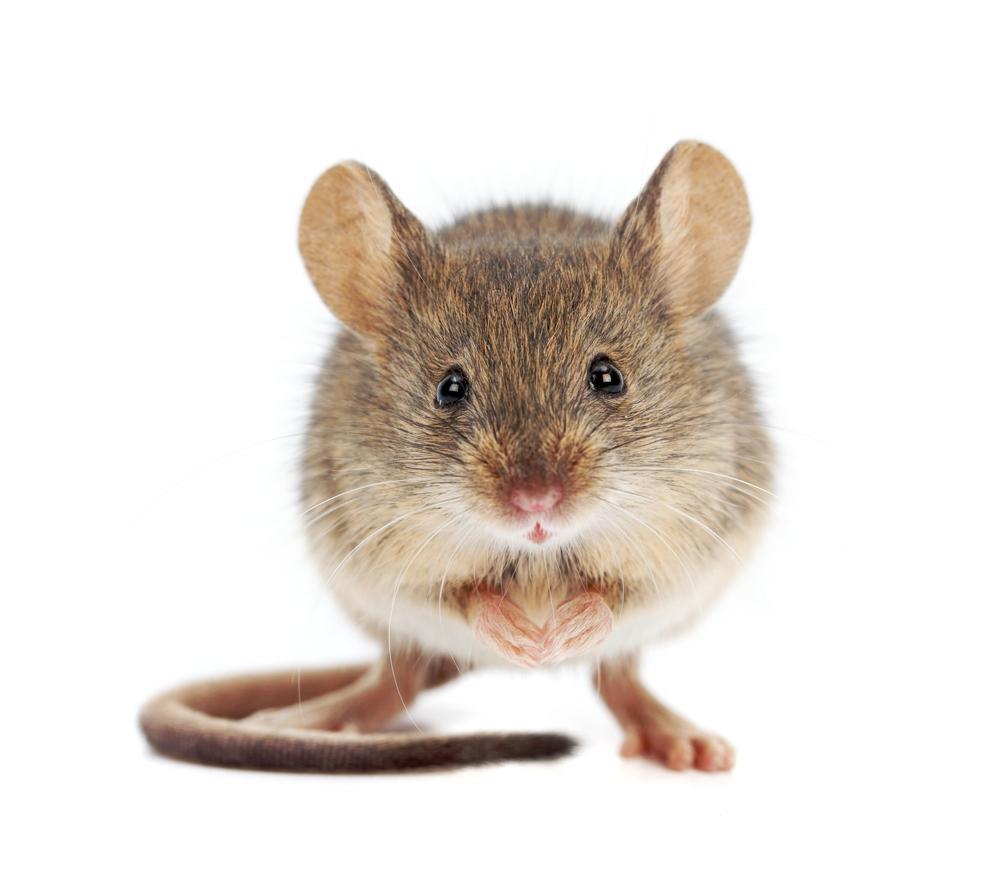 Eksperimentet har hittil bare blitt utført på mus, men kanskje kan det også virke på mennesker med Alzheimers. Foto: Szasz-Fabian Jozsef/Shutterstock.com