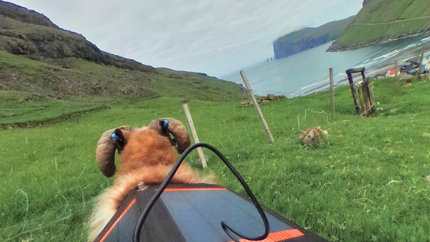 Nå kan du oppleve Færøyene i 360 grader – fra ryggen på en sau