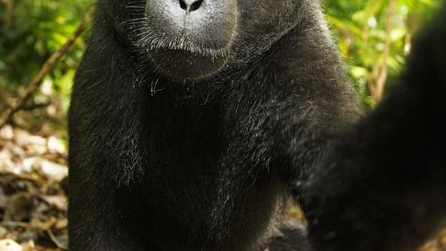 Hvem har rettighetene til apeportrettene?