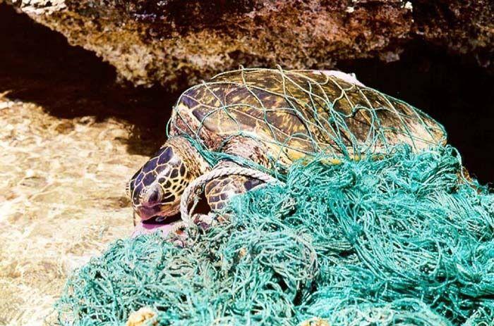 Denne skilpadden er fanget i et fiskegarn. Foto: Public domain