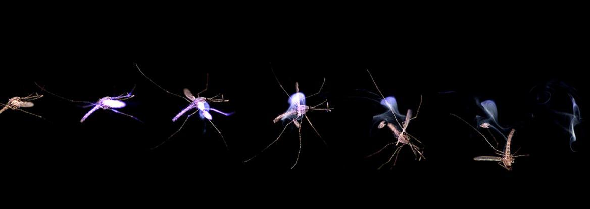 Slik ser det ut når mygg kverkes med laseren. Prosessen tar kun 25 millisekunder.