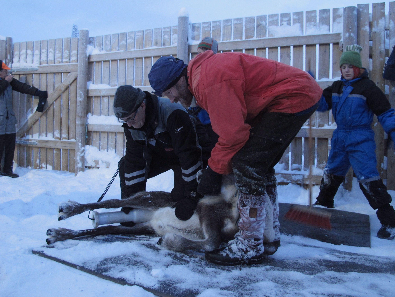 Tamrein i Norge blir fremdeles kontrollmålt av Mattilsynet før slakting. Her måler Terje Eggen rein i Vågå tamreinlag i januar 2015. Dette er et av områdene der sau og rein fremdeles kan ha høye cesium-verdier. Torild A. Østmo, Mattilsynet