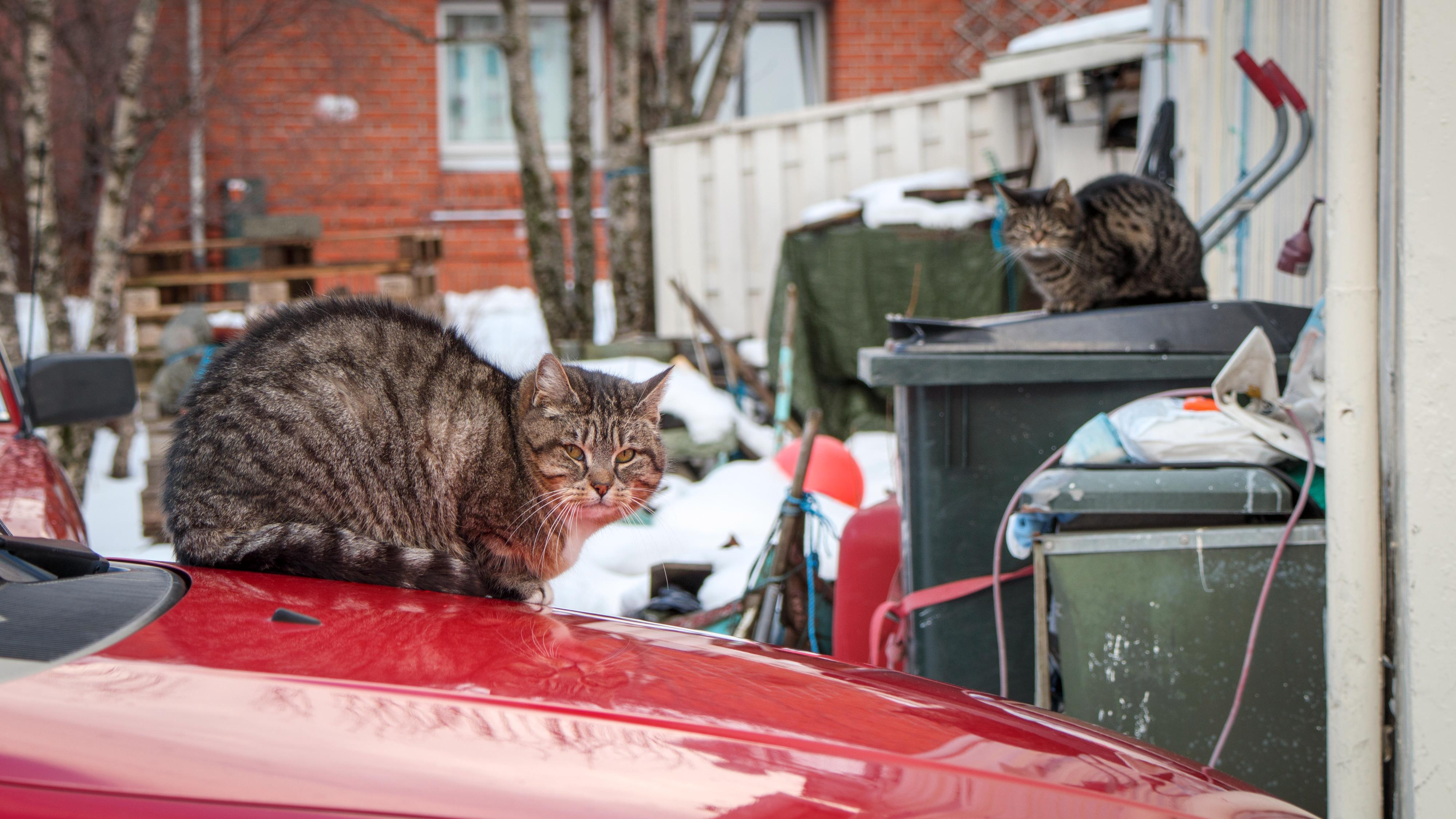 Et godt kameragrep er fint å ha når du skal bruke kameraet håndholdt med tung optikk i lengre perioder, som for eksempel hvis du fotograferer dyreliv uten å ha med stativ. For å spionere på naboens katter derimot... 1/125s - f/6.3 - ISO 160. Behandlet fra råformat.