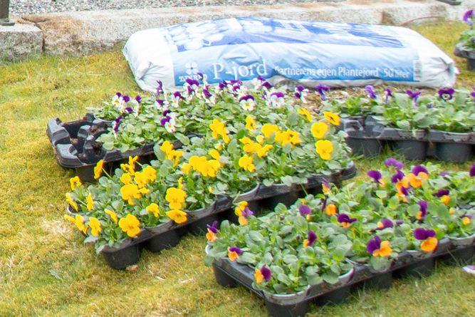 VÅRBLOMSTER: Fargerike og hardføre stemorsblomster klare for planting på Haukeland gravplass.