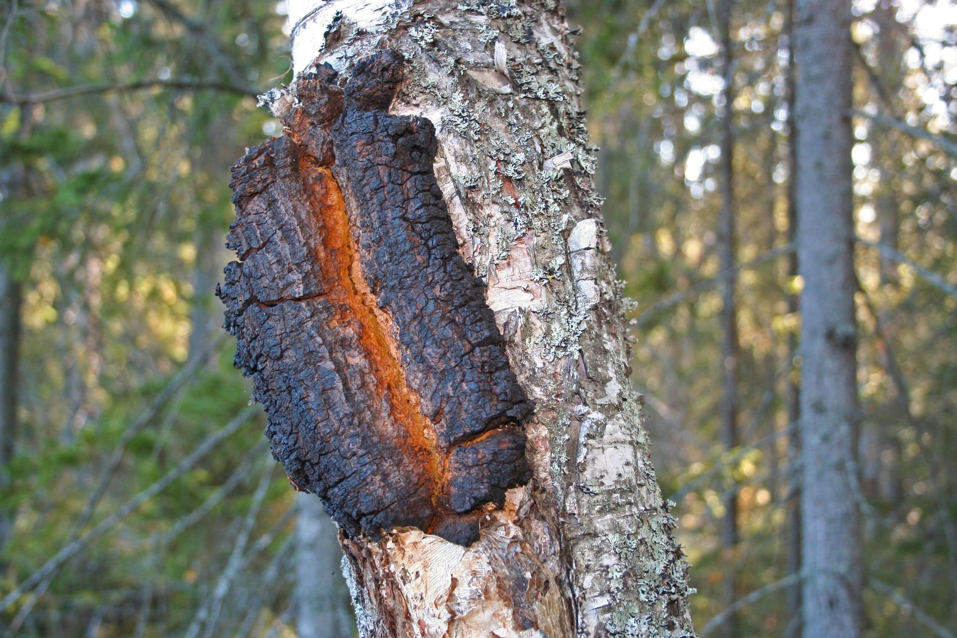 Björkträd angripet av parasitsvampen sprängticka