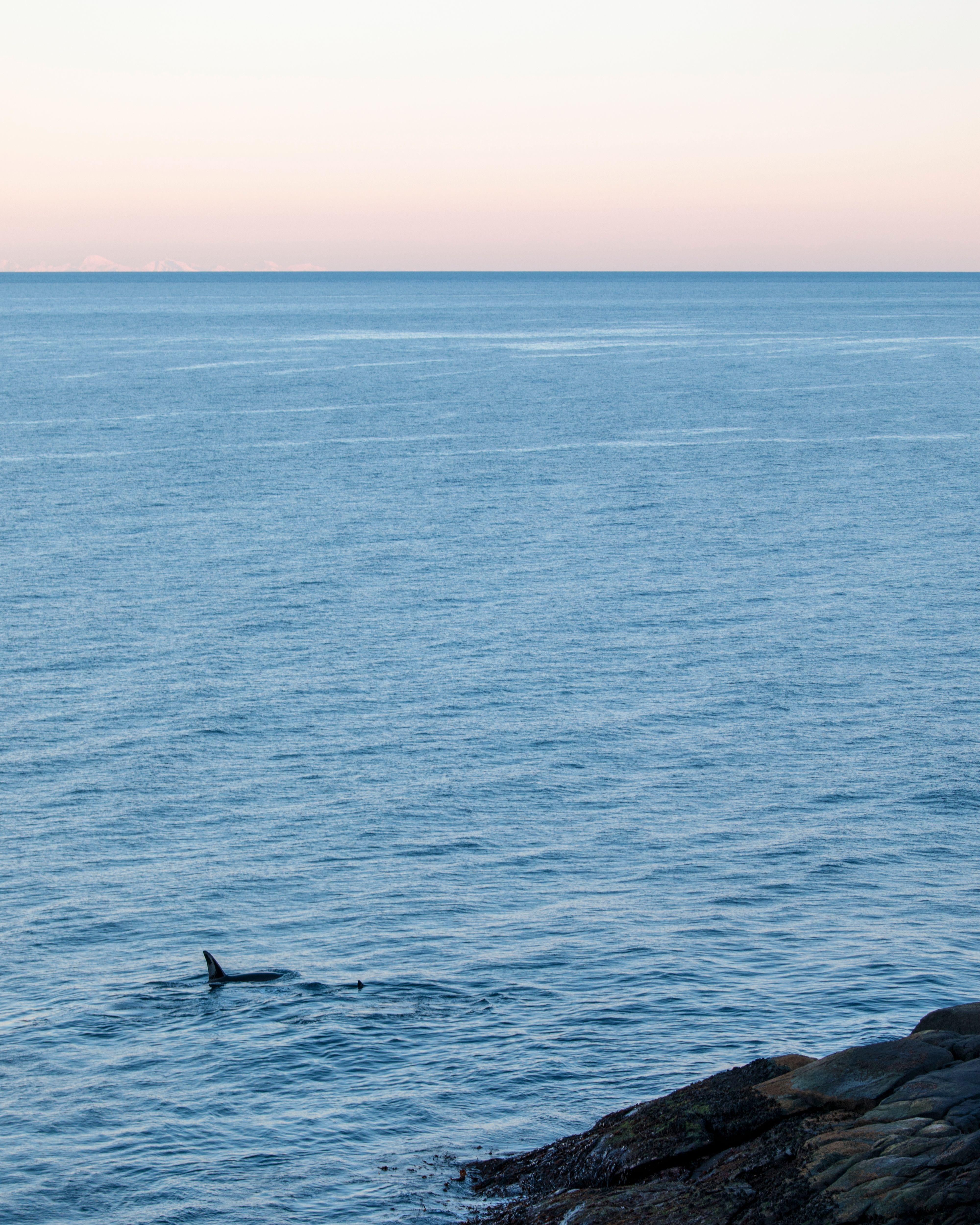 Oppglødd over et sjeldent med store, flotte dyr, glemmer jeg å ta flere bilder som dette. Jeg henger meg for mye opp i å komme så tett som mulig å fange de relativt få øyeblikkene de kommer mer opp av havflata, men kunne nok fått vel så flotte bilder der spekkhoggerne var mer en del av miljøet rundt. 1/200s - f/5.0 - ISO 250. Behandlet fra råformat.