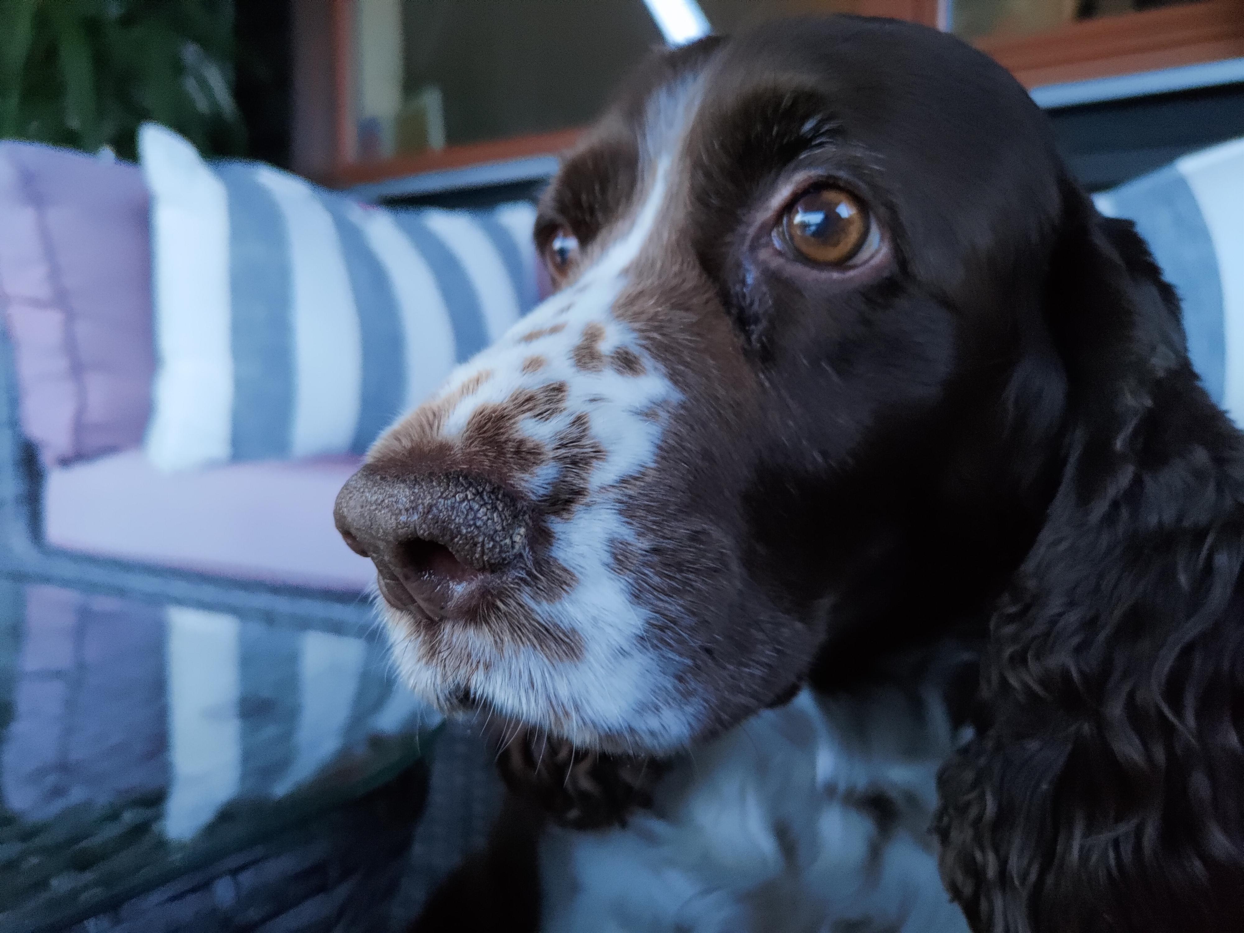Fokus er litt vanskelig allerede fra tidlig i skumringen. Jeg hadde omtrent 20 bilder av denne søte hunden, men ingen av dem ytte bikkja rettferdighet.