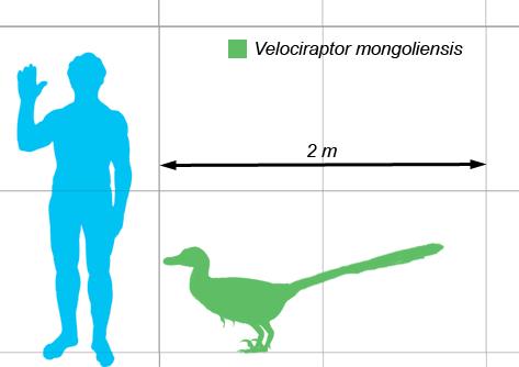 Velociraptor sammenlignet med menneske. Foto: Matt Martyniuk