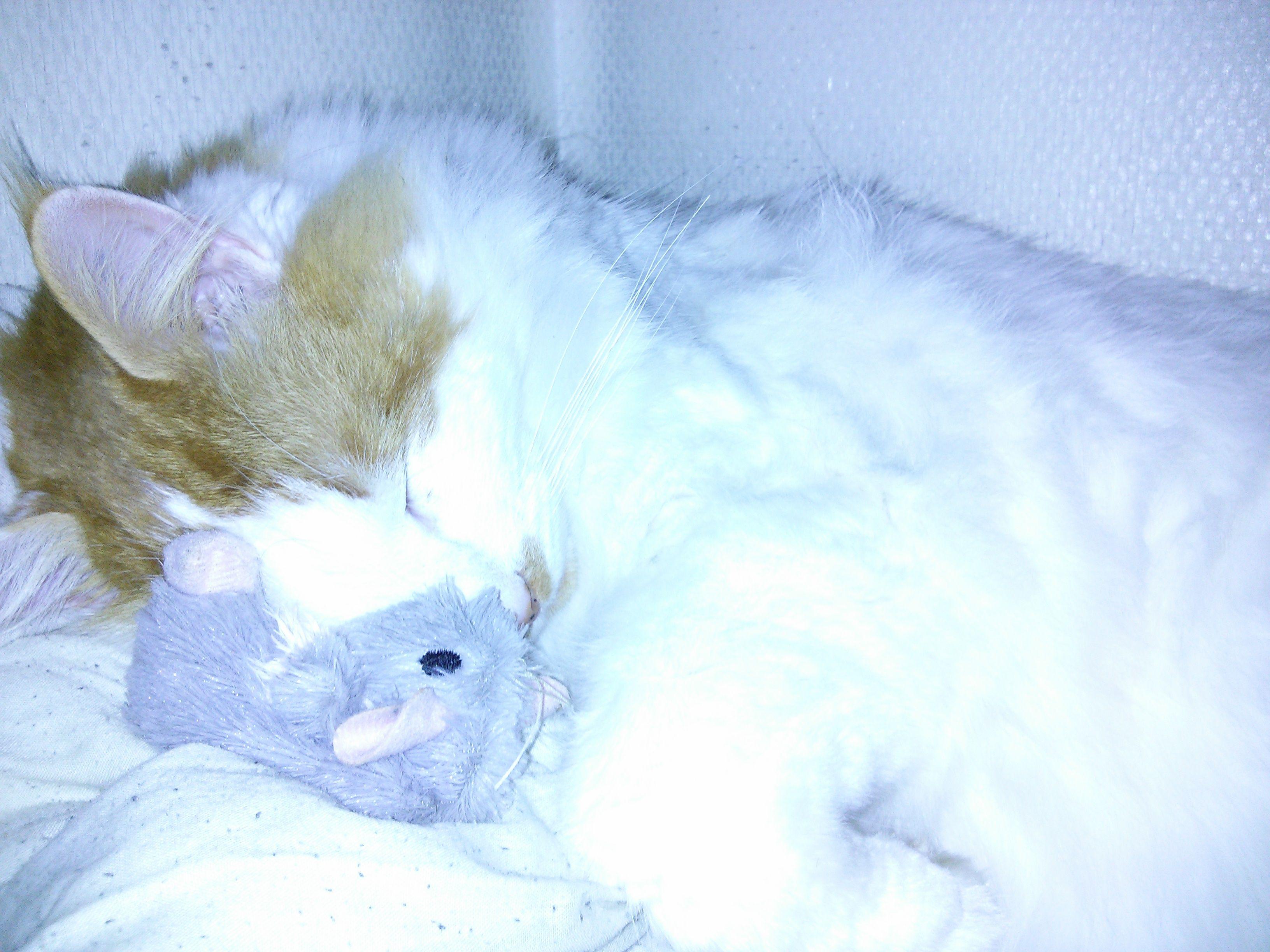 Hvit katt i flombelysning fra LED-blitzen.