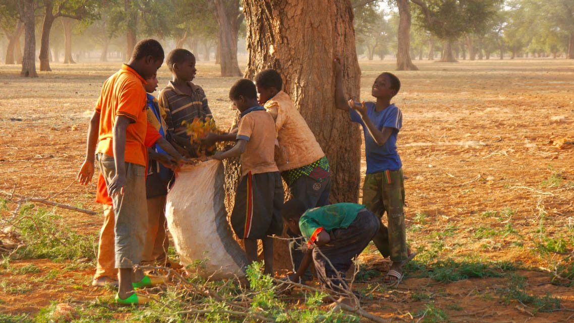 Frøene til plantingen samles og selges av lokalbefolkningen.