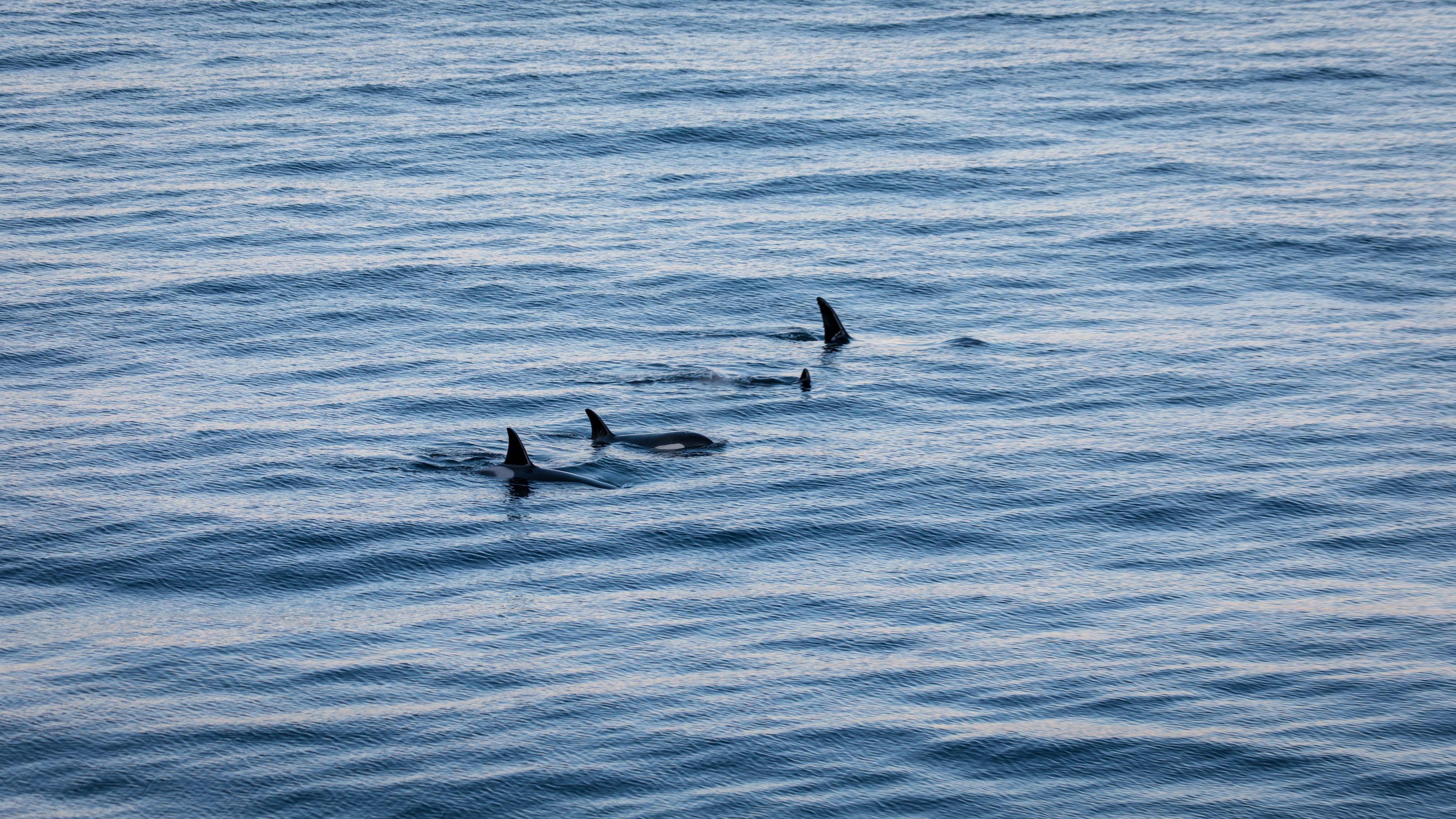 Dyrene følger landet bortover på jakt etter sild, men ifølge en turguide jeg snakker med senere svømmer de sjelden inn i fjordene på grunn av at de da gjerne blir fulgt etter av folk i båt. 1/200s - f/5.0 - ISO 200. Behandlet fra råformat.