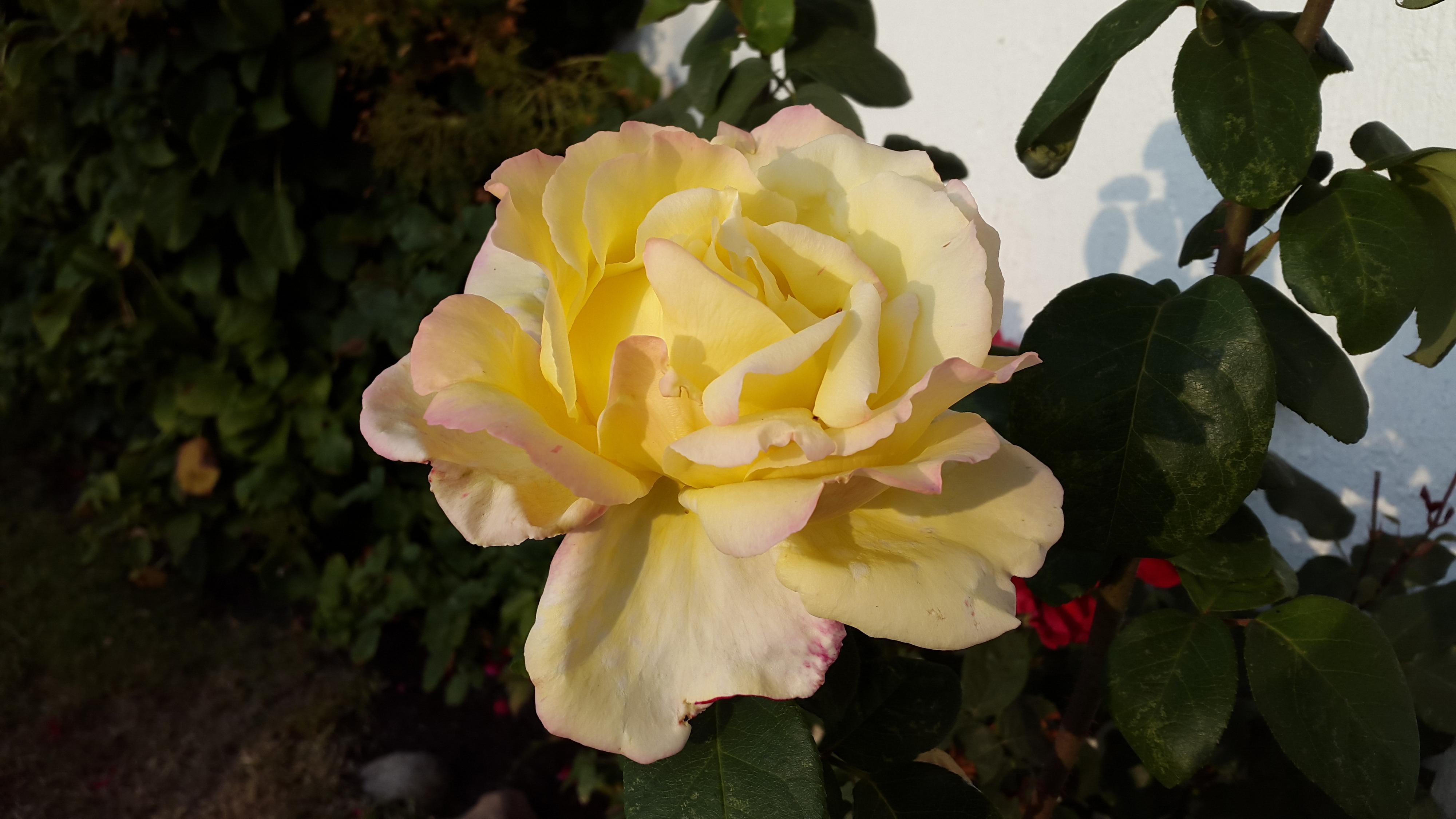 Nærbilde av blomst.