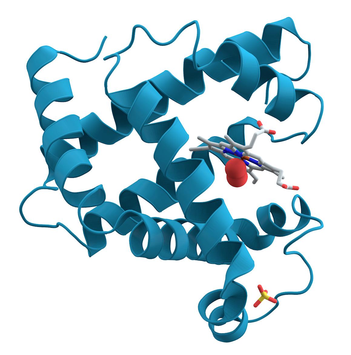 """Myoglobin, ett av mange proteiner. Proteiner """"bretter"""" seg utrolig raskt.Foto: Wikimedia"""