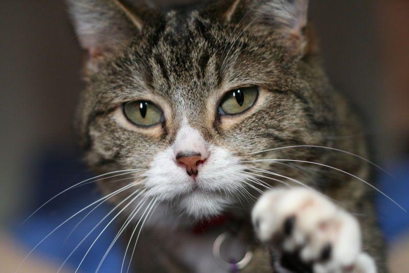 Dette katteportrettet er et klassisk eksempel på bruk av minimal dybdeskarphet for å isolere og fremheve hovedmotivet.