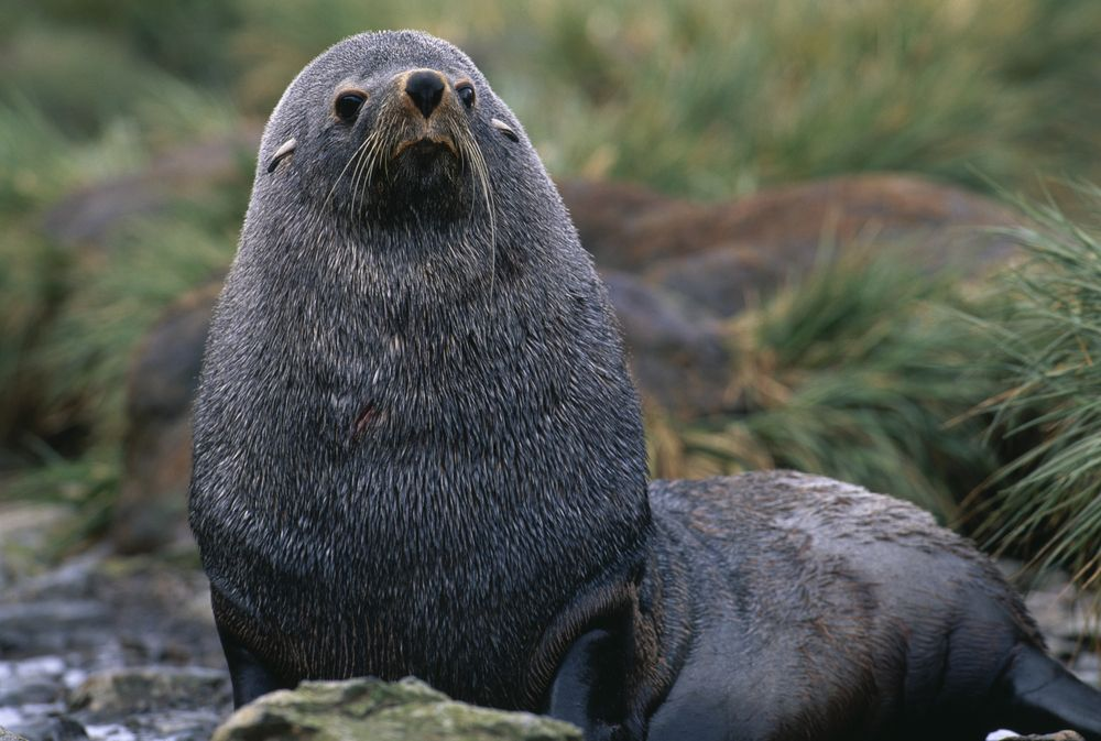 Antarktisk pelssel, hissig som en tiur i parringstiden, bare litt større. Foto: Shutterstock