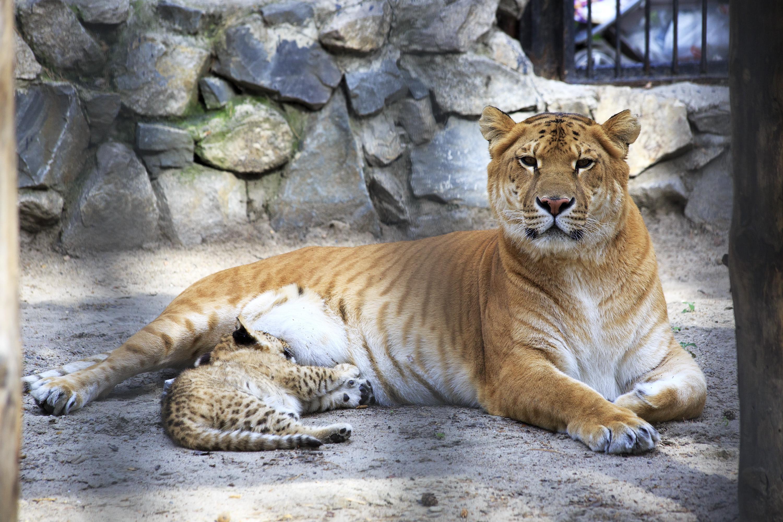 Hvis kjæledyrene dine inkluderer en hannløve og en hunntiger er du kun en Barry White-plate unna dette dyret; en liger.Foto: yykkaa/Shutterstock.com