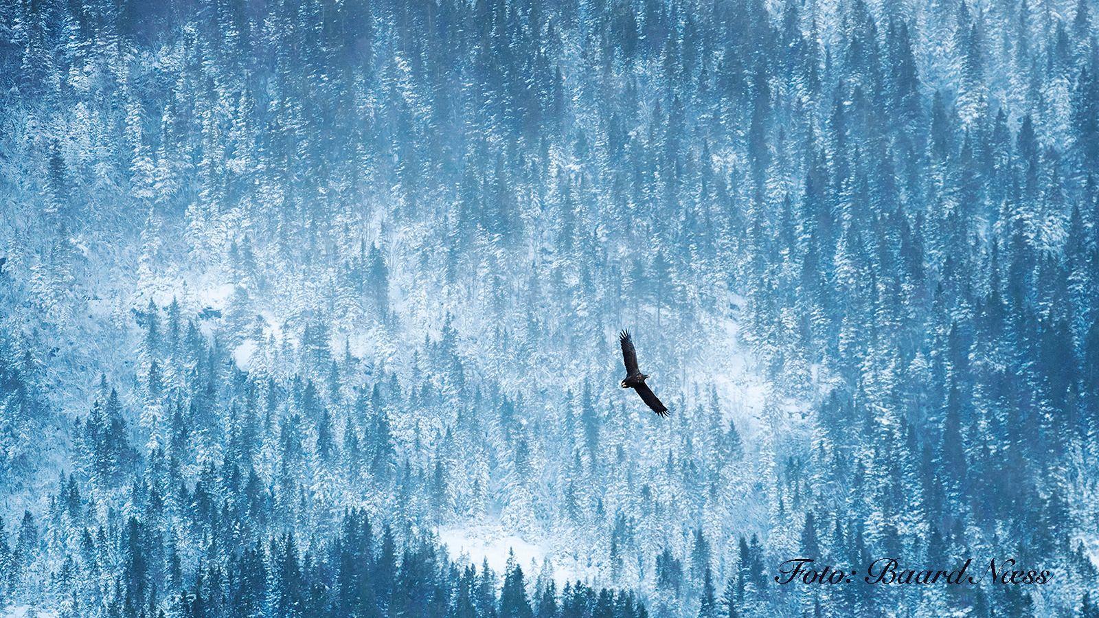 Et veldig flott bilde av en havørn mot vinterlandskap, men ville du synes bildet var like flott hvis det skulle vise seg at ørnen var limt inn? Ektheten i naturbildene er viktig for vår estetiske oppfatning av dem, og for de fleste naturfotografene, Baard Næss inkludert, er det derfor veldig viktig at andre fotografer i miljøet ikke jukser med sine bilder. Canon EOS 1D-X, 70-300 mm. 1/500s - f/5.6 - ISO 1600. Foto: Baard Næss