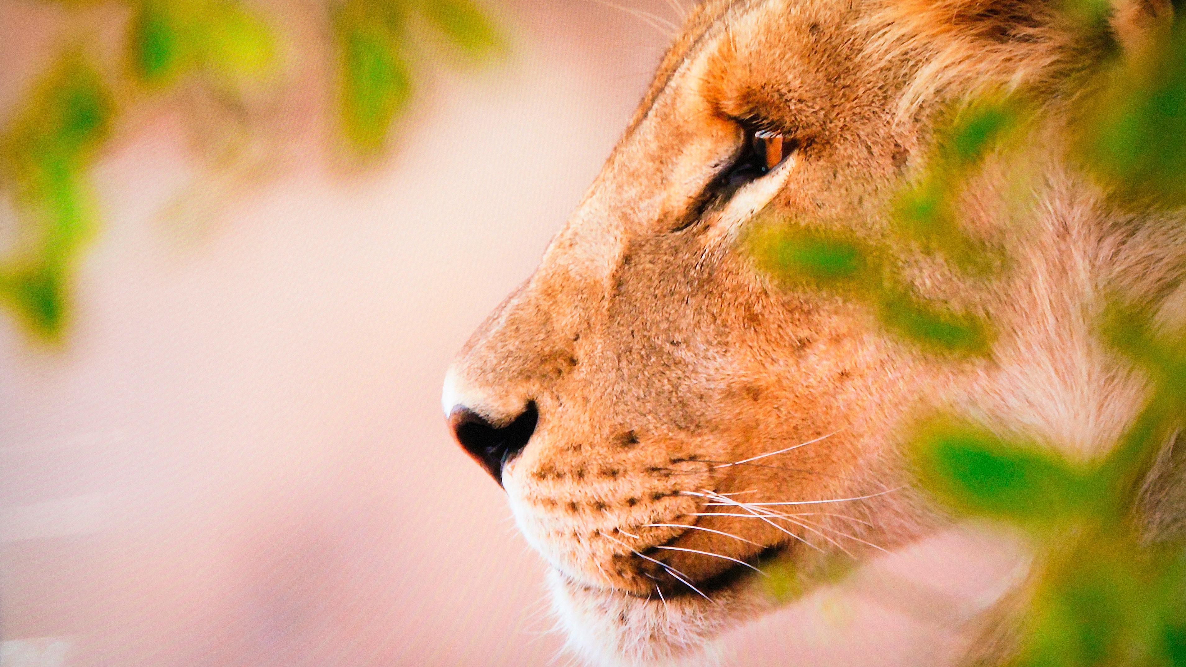 Med meget gode farger klarer Q9 å gjøre løvene mer intense enn noen sinne.
