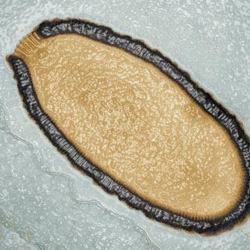 Et av virusene som har blitt vekket til live igjen, Pithovirus sibericum. Foto: Julia Bartoli & Chantal Abergel, IGS, CNRS/AMU