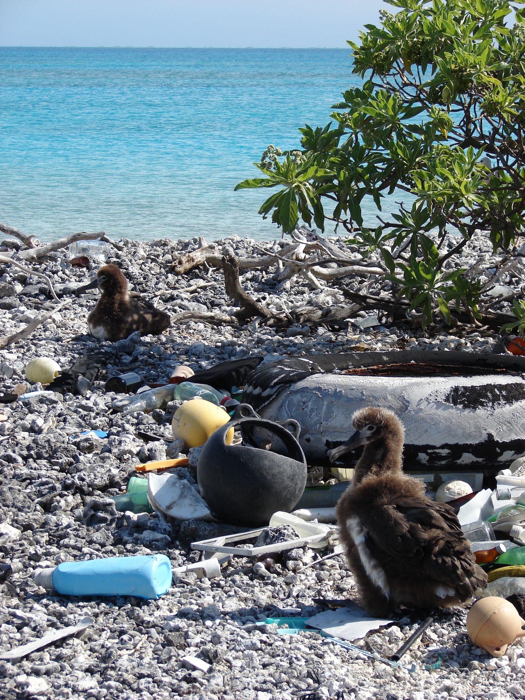 Albatrosser hekker gjerne på øde øyer. Men uansett hvor øde øyen er, har plasten funnet veien. Foto: Kim Starr, Creative Commons