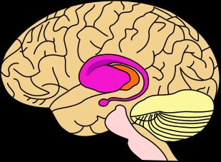 Ytre stratium aktiveres når noe står på spill.Foto: Wikipedia