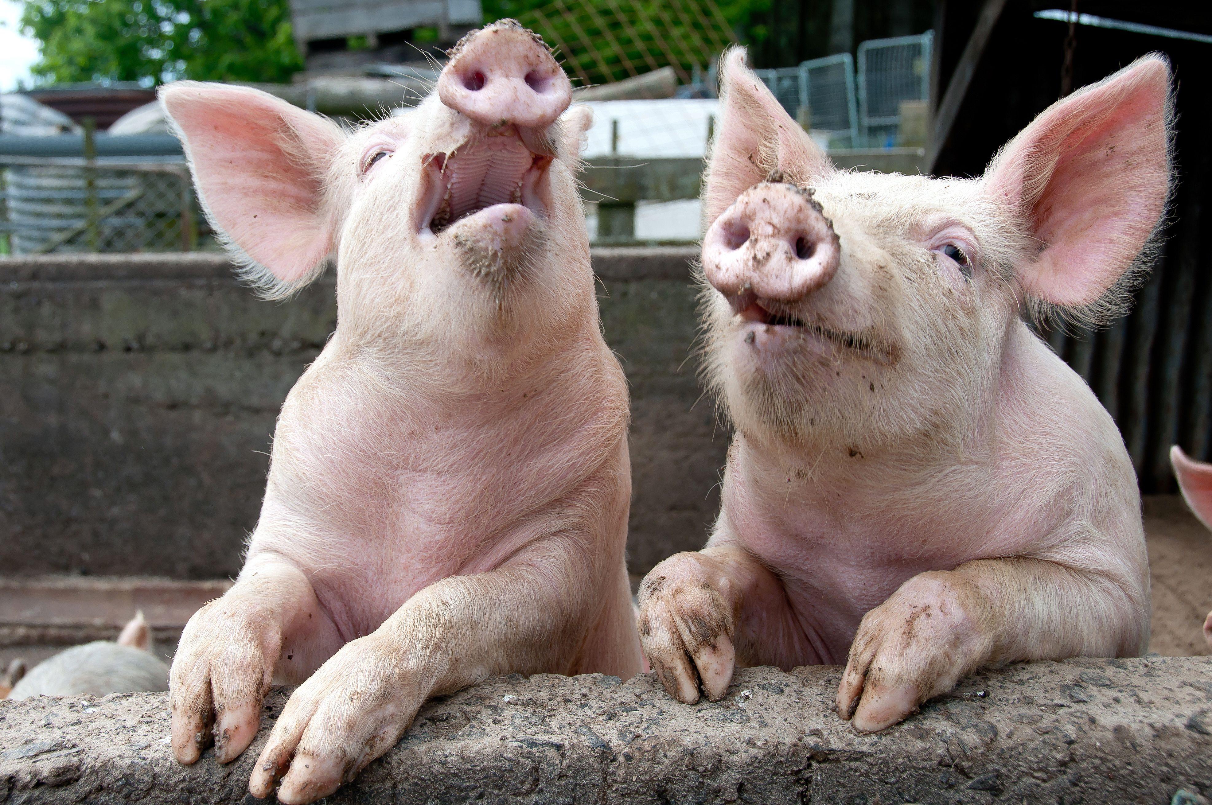 ... Og så løp grisen ut!Foto: Shutterstock/ janecat