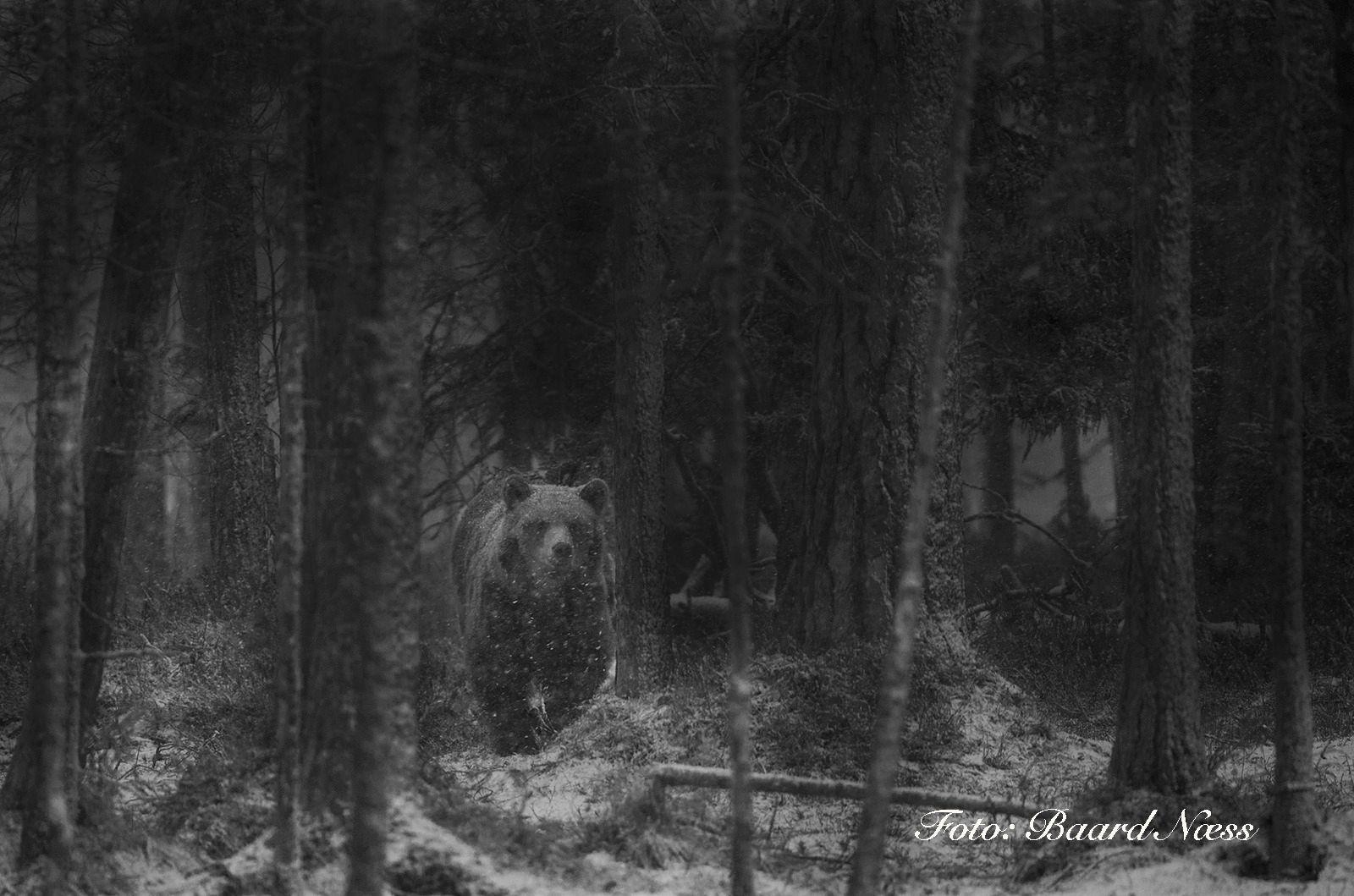 Næss har i en lengre tid nå hatt de fire store nordiske rovdyrene som sitt prosjekt, her er et av hans mer stemningsfulle bjørnebilder. Canon EOS 1D-X, 200-400 mm m/1,4x extender. 1/200s - f/5.6 - ISO 1600. Foto: Baard Næss