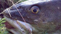 Fisk spiste Nokia-telefon