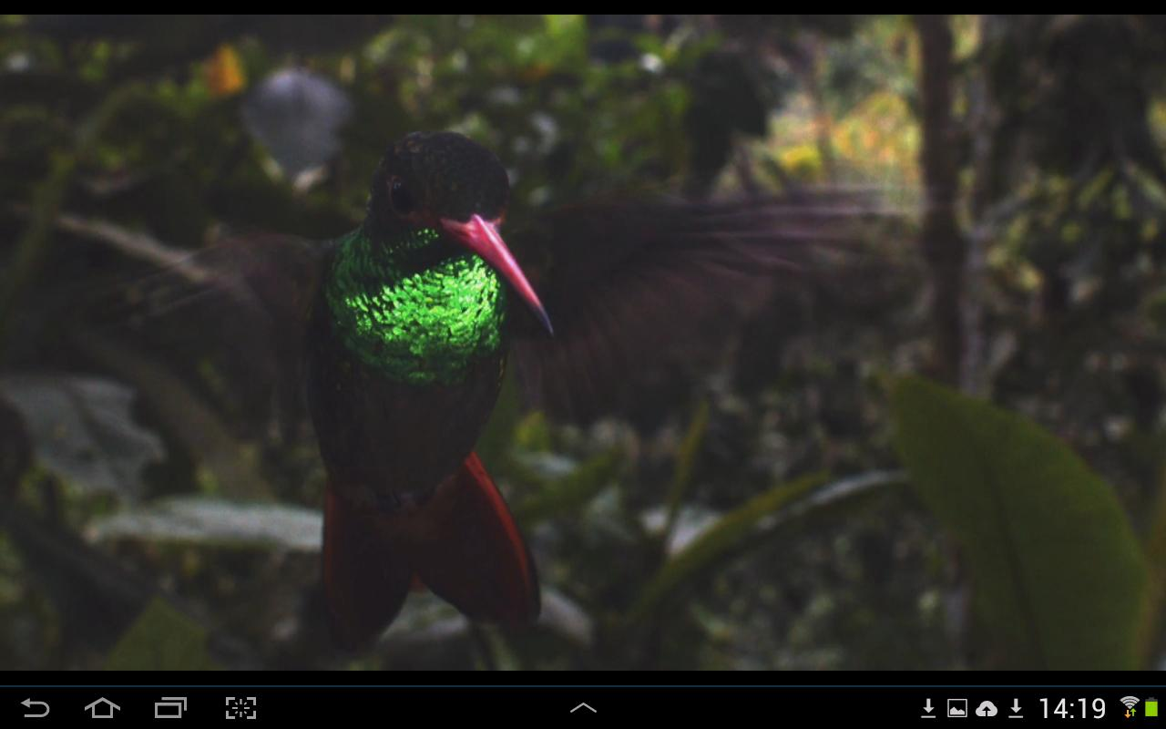 David Attenborough forteller om kolibrier. Foto: Skjermdump