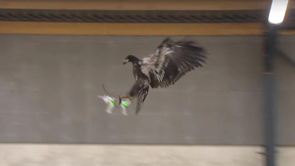 Nederlandsk politi har trent opp 100 ørner til å angripe droner