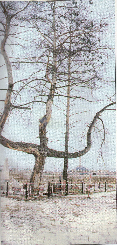 """Alle mente at dette furutreet var dødt, men det ble ikke pløyd ned siden det var et minnesmerke fra """"Mødrelandskrigen"""" (2. verdenskrig). Etter to år vokste det ut store klumper med lange barnåler – den eneste mutasjonen som var registrert i Tsjernobyl i 1989. Reaktor 4 ligger til høyre bak treet."""