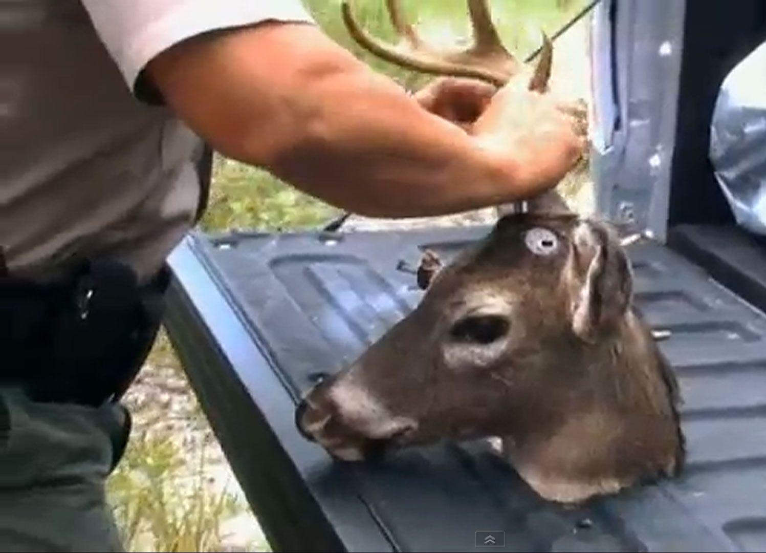 «ROBO-BAMBI»: Hjortene styres ved hjelp av en fjernkontroll som skal gi roboten mer «levende» bevegelser.Foto: Skjermdump, YouTube