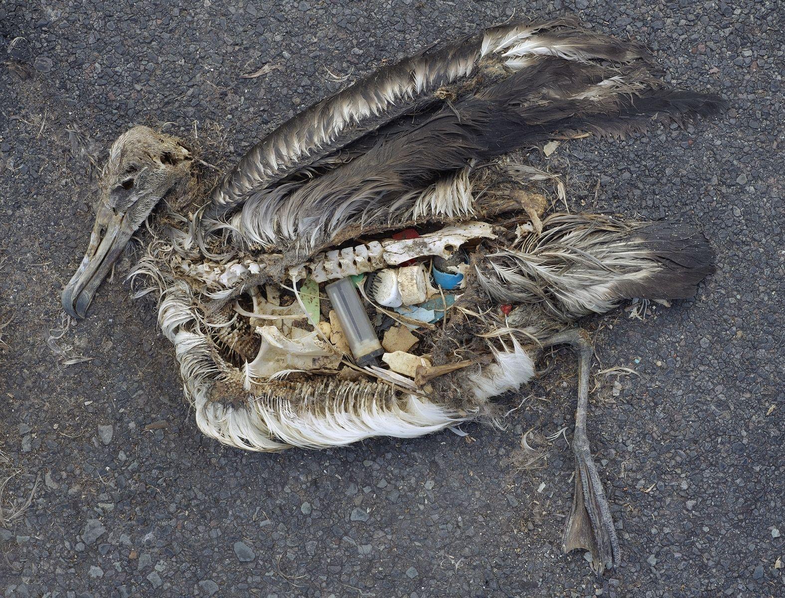 Denne albatrossen har fått mye plast i seg. Foto: Chris Jordan, Creative Commons