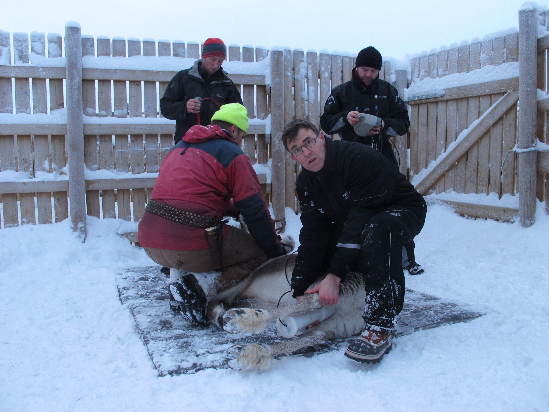 Lavrans Skuterud (midt i bildet) var med å måle cesiumnivåene hos tamrein i Vågå i januar 2015. Verdiene lå da på mellom 500 og 1200 Bq per kilo.