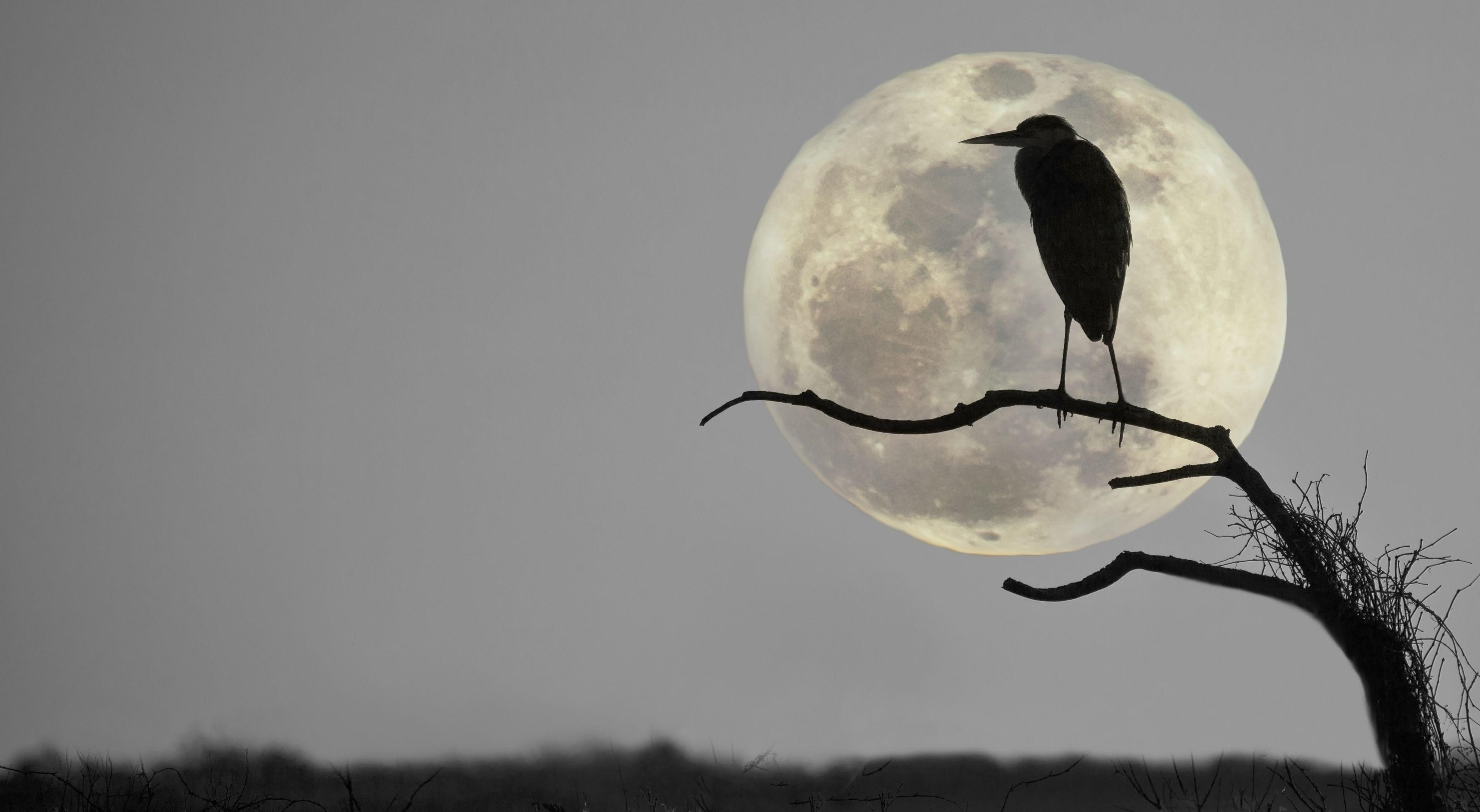 Hegre i siluett mot månen. (Foto: Shutterstock)